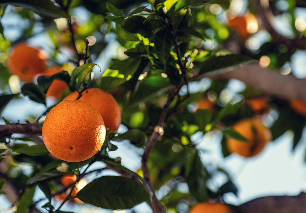 pomeranc_pomerancovnik_strom_listy_vetve